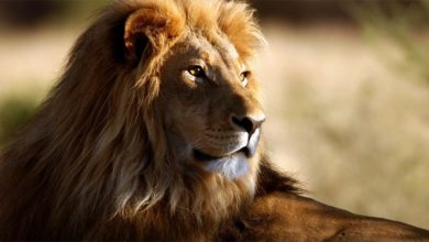 Photo of Lion – the king of animals