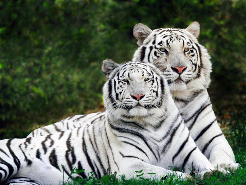 Biggest Siberian Tiger in the World (photo)? – PoC  |Biggest White Tiger In The World