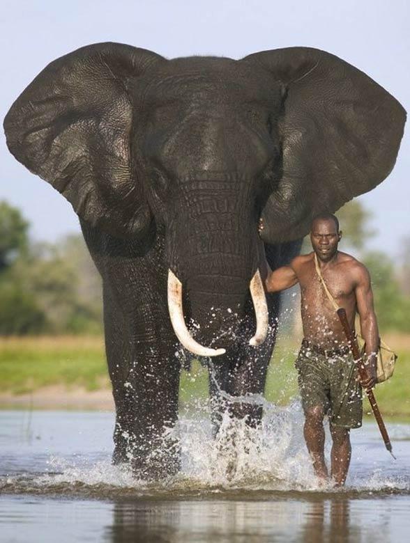 [Image: African-bush-elephant-35.jpg]