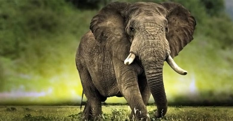 Photo of African bush elephant (Loxodonta africana)