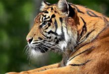 Photo of Bengal tiger (Panthera tigris tigris)