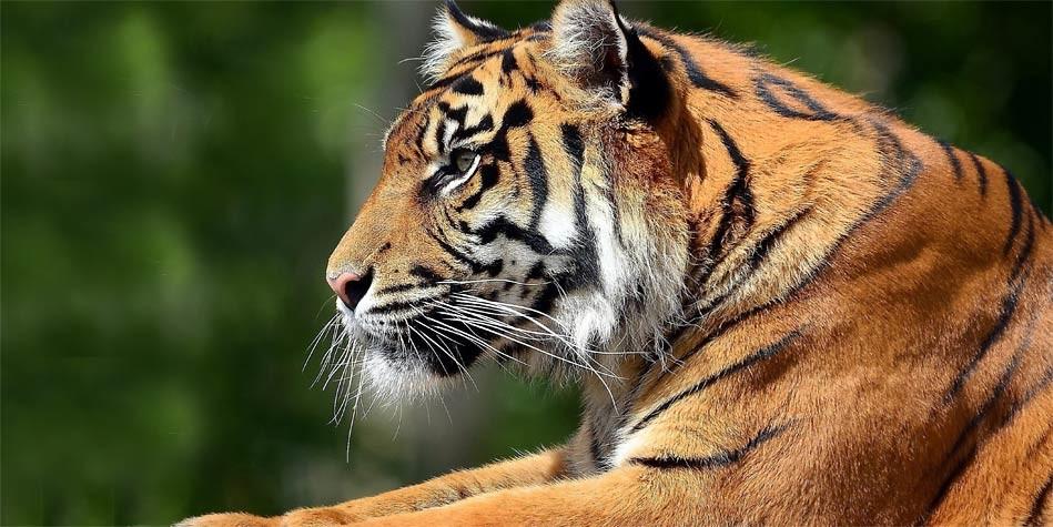 tiger penis length