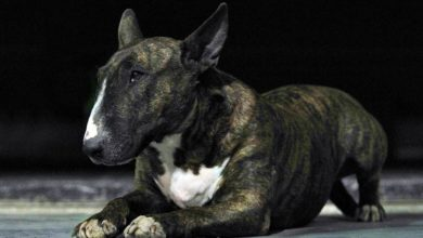Photo of Bull Terrier