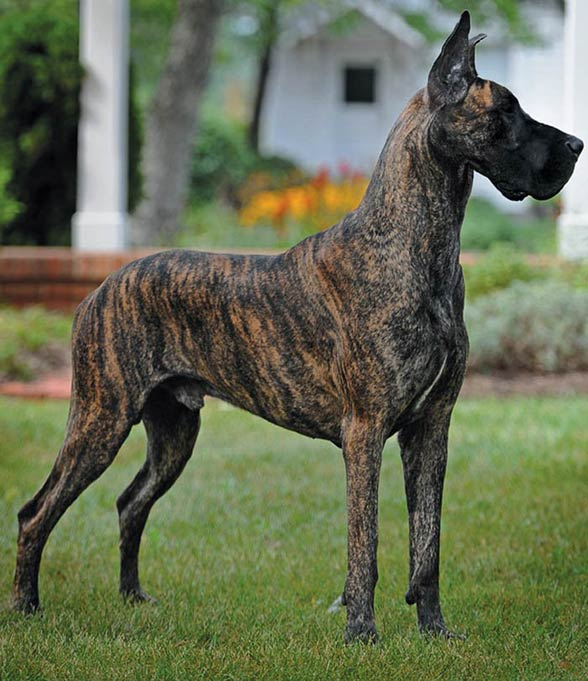 I A Great Dane Great Dane | DinoAnima...