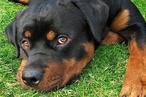 American rottweiler with tail