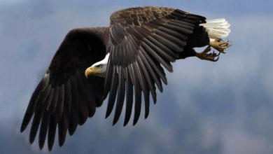 Photo of The largest eagles – Top 10