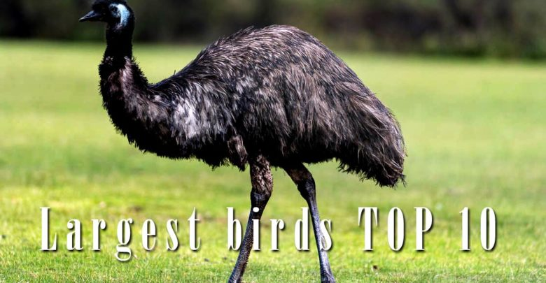 Photo of The largest and heaviest birds – Top 10
