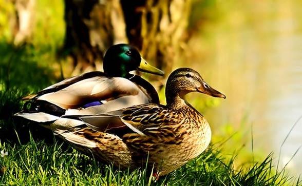 Mallard, wild duck (Anas platyrhynchos)
