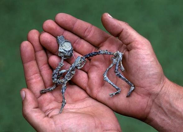Smallest dinosaurs