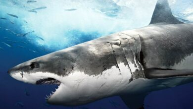 Photo of The largest, biggest, longest sharks – Top 10