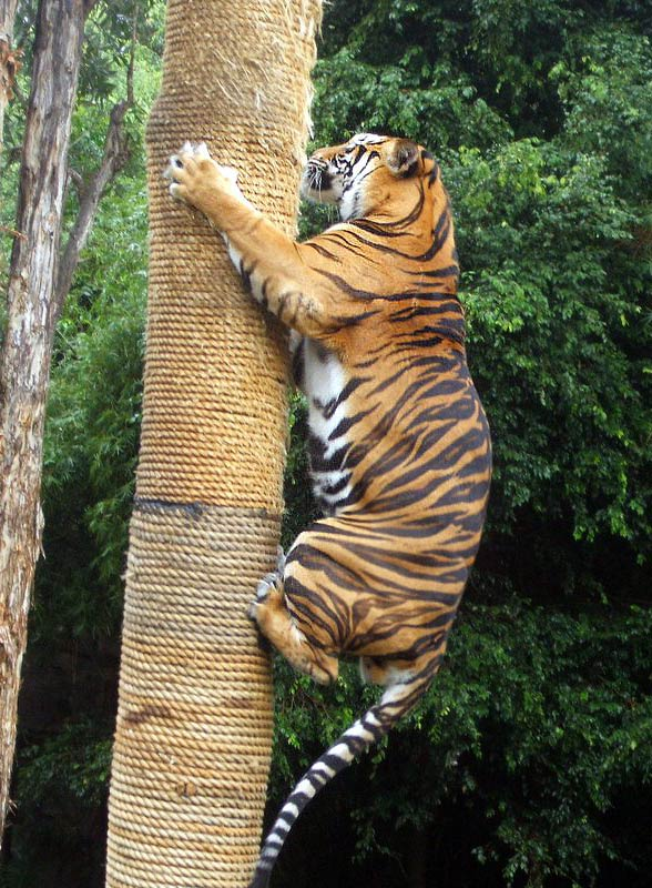 The sumatran tiger smallest tiger dinoanimals com