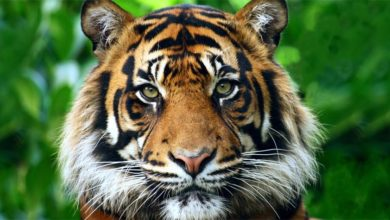 Photo of The Sumatran tiger – smallest tiger