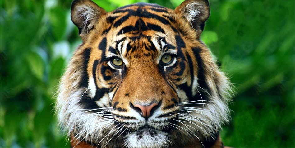 the extinction of sumatran tigers in asia essay The black rhino is listed as a critically endangered species with a world-wide population of about 4,800 found in india and throughout asia the sumatran tiger.