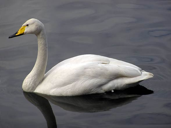 Whooper swan (pronounced hooper) (Cygnus cygnus)
