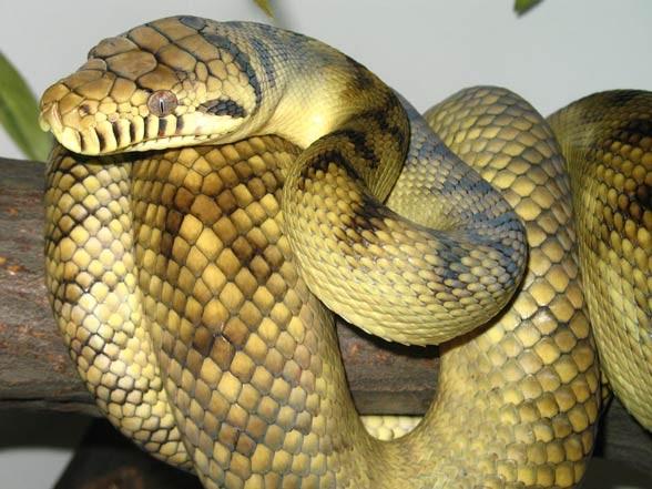 Amethystine, scrub python (Morelia amethistina)