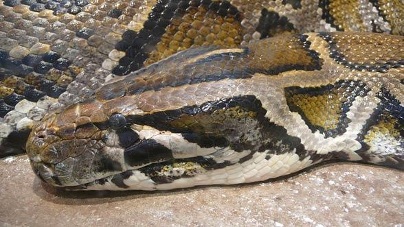 second smallest python