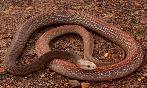 Coastal, common taipan (Oxyuranus scutellatus)