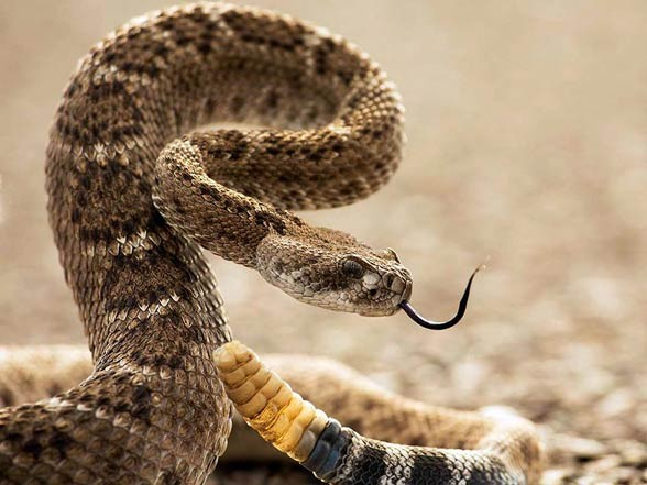 Diamondback rattlesnake (Crotalus adamanteus)