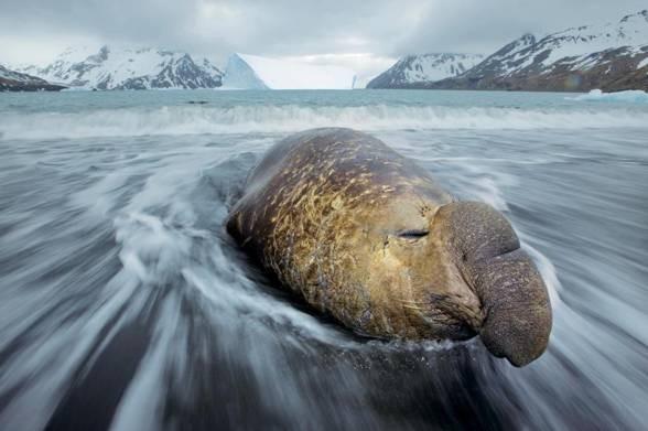 Elephant seal (Mirounga)
