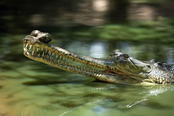 gharial (Gavialis gangeticus)