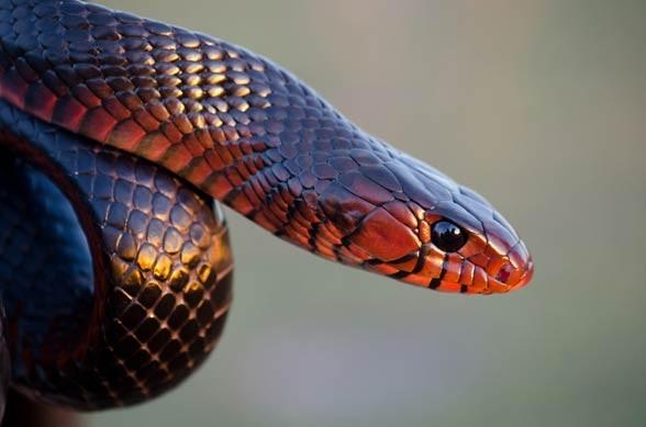 Indigo snake (Drymarchon)