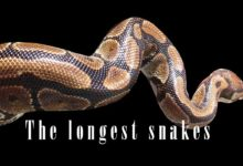 Photo of The longest, largest snakes – Top 10