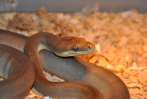 Olive python (Liasis olivaceus)