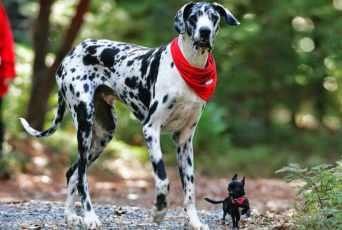 The tallest dogs – TOP 10 | DinoAnimals com