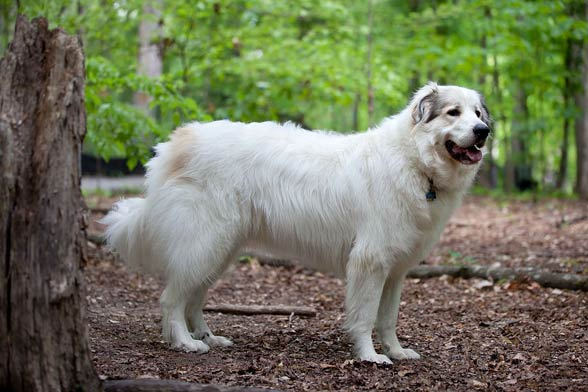 Pyrenean Mountain Dog (Great Pyrenees)