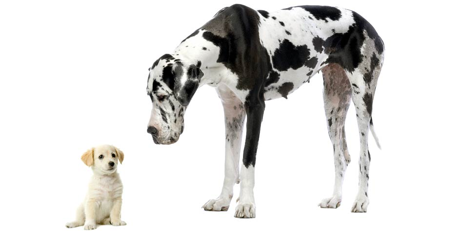 tallest dog breeds