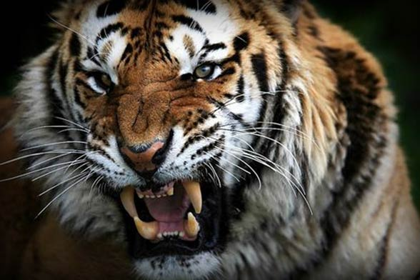 Bengal tiger - the winner