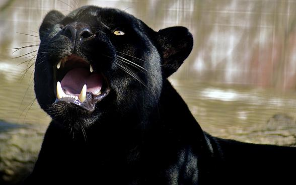Black panther – myths and facts | DinoAnimals.com - photo#2