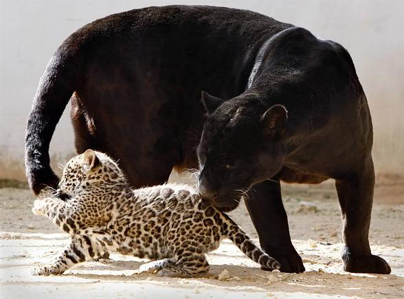Offspring Of A Black Panther May Be Both Black And Spotted.