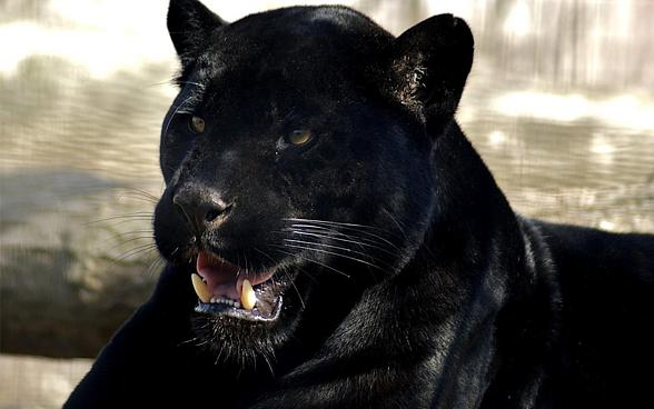 Black panther – myths and facts | DinoAnimals.com - photo#5