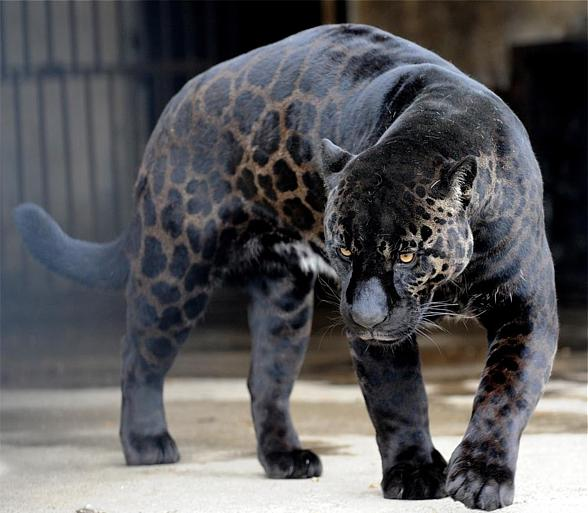 The jaguar whose parents aren't black, isn't completely black. Its fur is dark brown and you can see spots.
