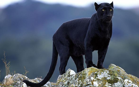 37e9353bd316 Black panthers in captivity are smaller and have more delicate appearance  than spotted cats.