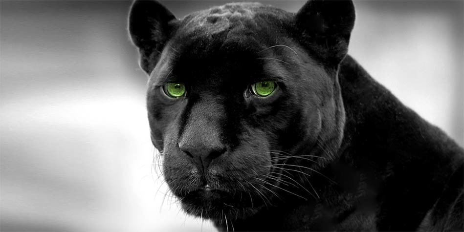 Animals Black And White Elephants 10000 Lions Big Cats: Black Panther – Myths And Facts