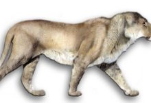 Photo of European, Eurasian cave lion