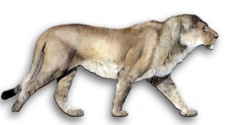 Photo of European, Eurasian cave lion