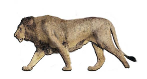 European / Eurasian cave lion (Panthera leo spelaea / Panthera spelaea)