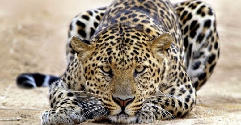 Photo of Leopard – an excellent hunter