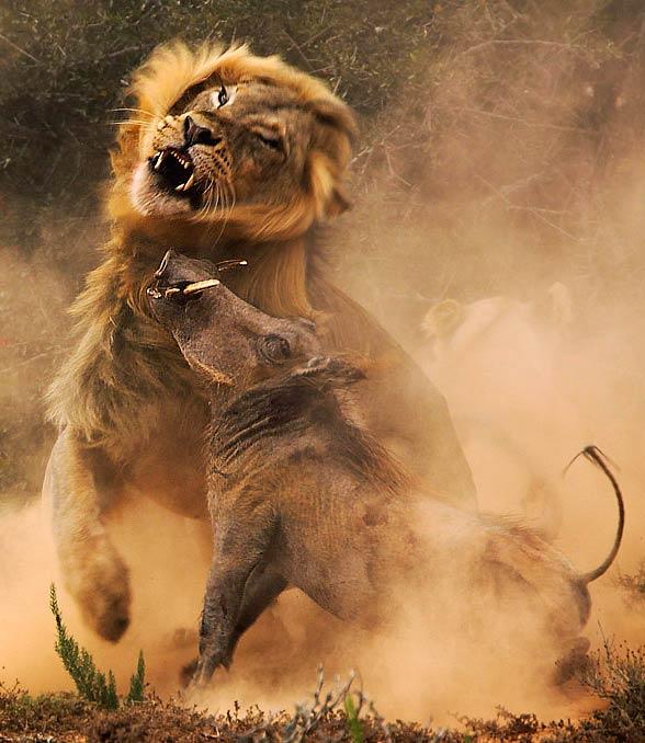 Lion vs warthog