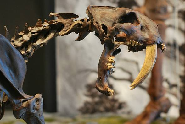 The Saber-toothed tiger (Smilodon)