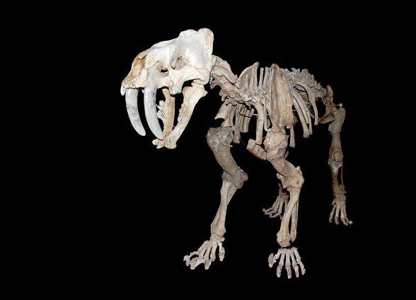 The Saber-toothed tiger (Smilodon)