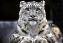 Photo of Snow leopard – mysterious cat