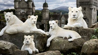 Photo of White lions