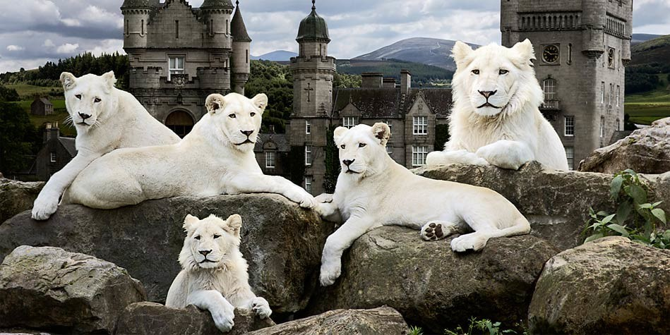 Largest white lion in the world