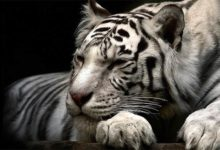 Photo of White tigers – myths and facts