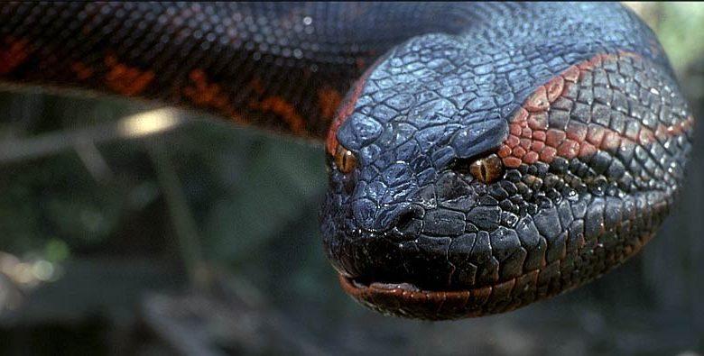 Photo of Anaconda – the world's largest snake?