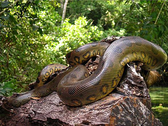 Show me a picture of the largest snake in world